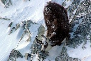 Kamzíky v Tatrách každý rok počítajú. Aj tak o nich nevedia všetko. Naposledy sa napríklad ochranári, poľovníci a ministerstvo životného prostredia nevedeli zhodnúť, či u nás žijú desiatky alebo stovky chránených vlkov.