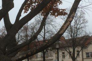 Buk červený na N8mestí slobody v Prievidzi bol suchý a zvnútra práchnivel.