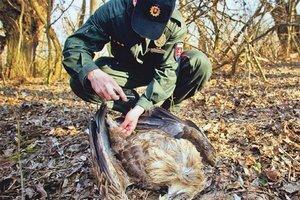 Smrť samca ohrozí aj mladé, samica stráži hniezdo a čaká na potravu.