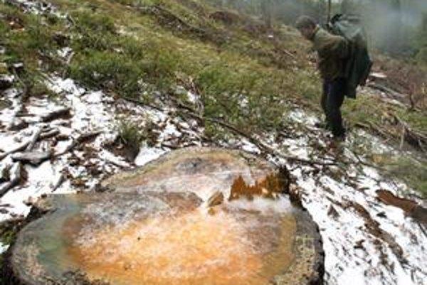 Rúbanie stromov v Smrekovici vo Veľkej Fatre asi zakážu.