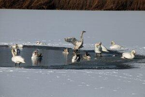 Z rieky vytiahli hasiči uhynutú labuť