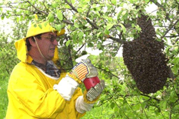 K roju včiel sa môže priblížiť len skúsený včelár.
