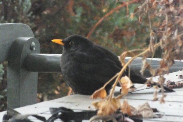 """Drozd čierny sa často vyskytuje vblízkosti ľudských obydlí, patrí však medzi """"necieľové"""" druhy voľne žijúcich vtákov."""