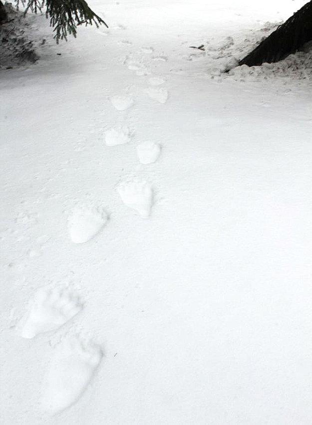 Stopa medveďa v snehu. Dôkaz, že niektoré medvede sú aktívne aj v zime.