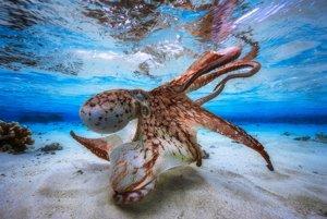 Tancujúca chobotnica v lagúne Mayotte, kde je počas jarných odlivov voda hlboká len 30 centimetrov.