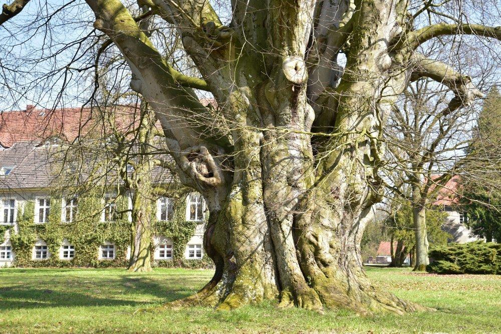 Buk v Hoppenrade, Nemecko, 175 rokov. Na lúke za našou školou rastie starý a mohutný buk. Je súčasťou školy a symbolizuje silu, súdržnosť, vitalitu, vieru a vedomosti. V zeleni pod jeho korunou mávame vyučovanie, je tu aj miesto na naše rozjímanie. Na jar pozorujeme rozvíjajúce sa púčiky, v lete nám dáva tieň, na jeseň milujeme more farebných listov nad nami a v zime staviame snehuliakov hneď vedľa jeho kmeňa. Náš buk miluje, chráni a udržuje celá naša škola, napísali o buku pri prihlasovaní do súťaže školáci.
