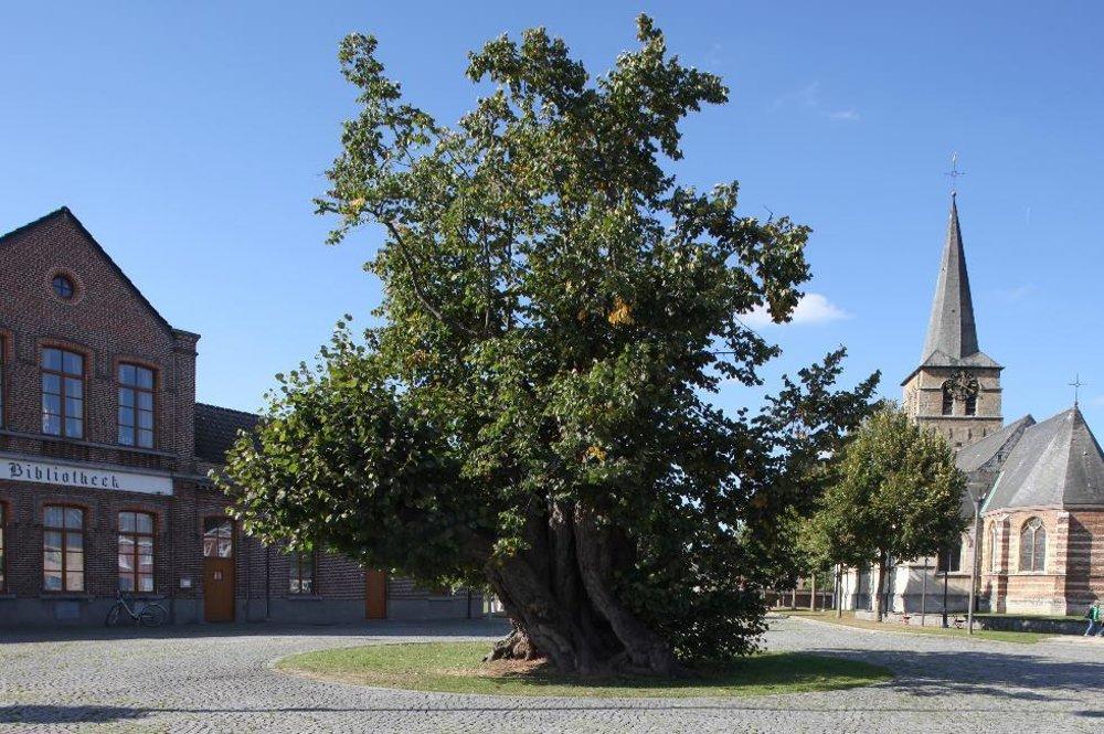 Obecná lipa v Massamene, Belgicko, 400 rokov.  Túto lipu v Massamene milujú tak, ako sa na takého veterána sluší a patrí. Jej hrboľaté kmene s dutinami a listami vypovedajú aj bez slov. Nariekala hrôzou, keď v roku 1645 zhorel obecný kostol, oslavovala s massamenskými pánmi, keď sa z obce stalo kniežatstvo a zažila porážku francúzskych vojsk počas ich útoku v roku 1798. Lipa je zahalená do svojej prekrásnej vône, je obľúbeným motívom pre maliarov a pod jej listami sa ľudia stále často zamilujú.