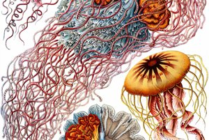 Medúzovce. Najväčší medúzovec na obrázku Desmonema Annasethe, pomenoval haeckel po svojej žene Anna Seth, ktorá umrela rok pred objavom tohto morského organizmu.