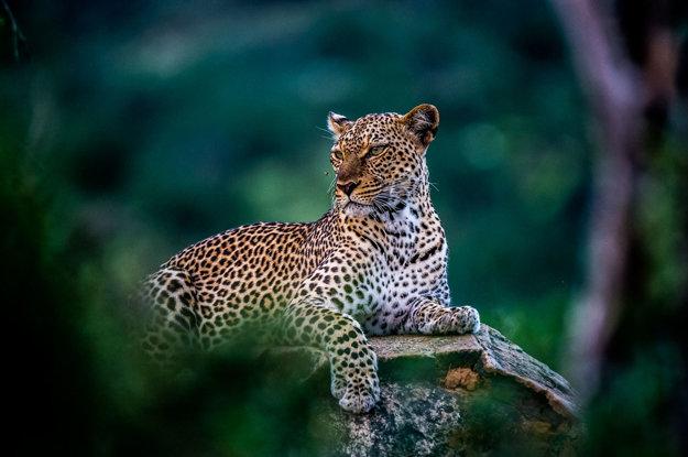Leopard škvrnitý