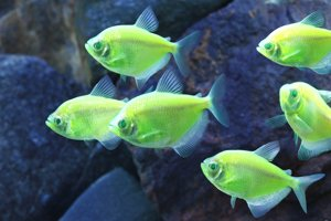 Ryby druhu tetra čierna dokázali vedci geneticky upraviť tak, aby svetielkovali.