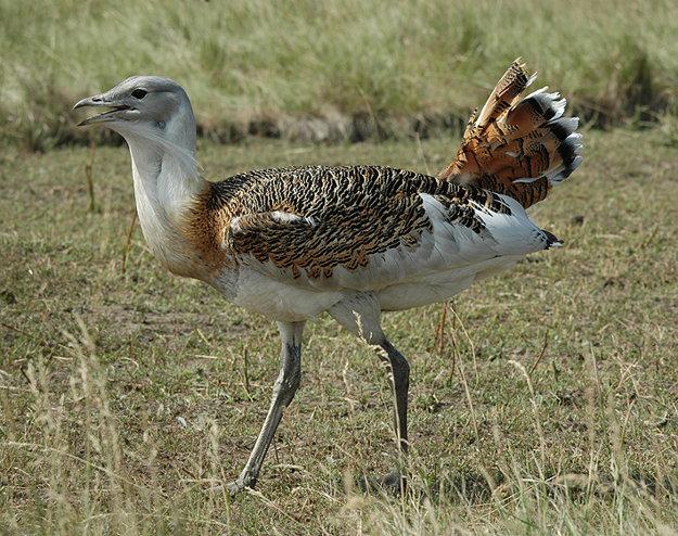 Drop fúzatý je jeden z najťažších lietajúcich vtákov na svete a najväčší vták žijúci vo voľnej prírode v Európe.