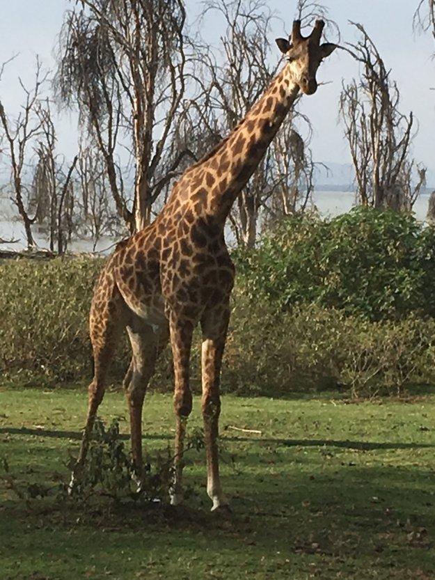 Neodmysliteľnou súčasťou Afriky sú žirafy.