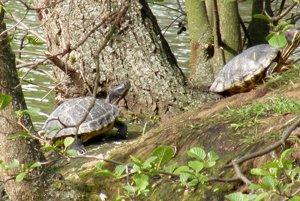 Korytnačky do jazera vypustili nezodpovední ľudia. Rybárov to hnevá, pretože im žerú ryby asú schopné napadnúť aj kačice.