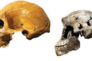 Homo naledi sa od archaických ľudí, ktorí žili v rovnakom čase,  veľmi odlišoval Vľavo: Lebka archaického človeka zo Zambie. Vrqavo: Lebka Nea z druhu Homo naledi.