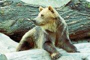 Medveď hnedý. Monitoring zachytil v Malej Fatre iba jedného.
