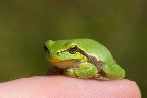 Mladá rosnička zelená.