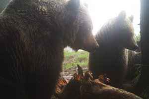 Samec sa so samicou stretáva počas ruje.