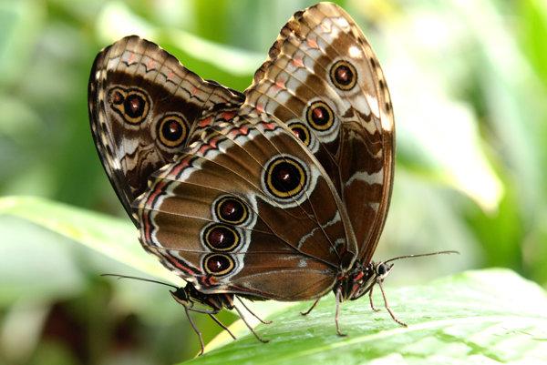 Motýle morpho peleides.