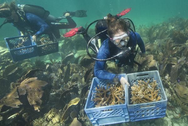 Dobrovoľníci pomáhajú vysádzať nové koraly.