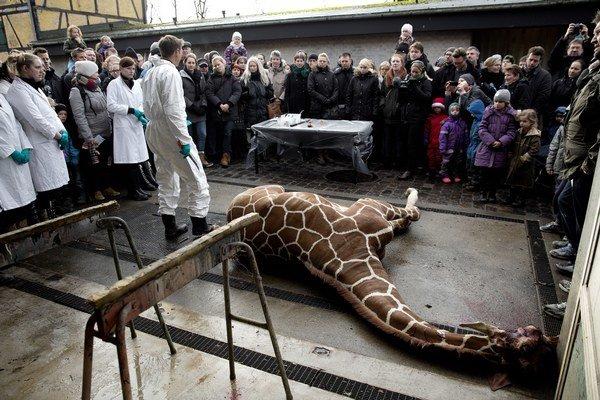 Žirafu v Kodani dali levom pred ľuďmi. Má to vraj vzdelávací účinok, tak sa to deje aj v savane.