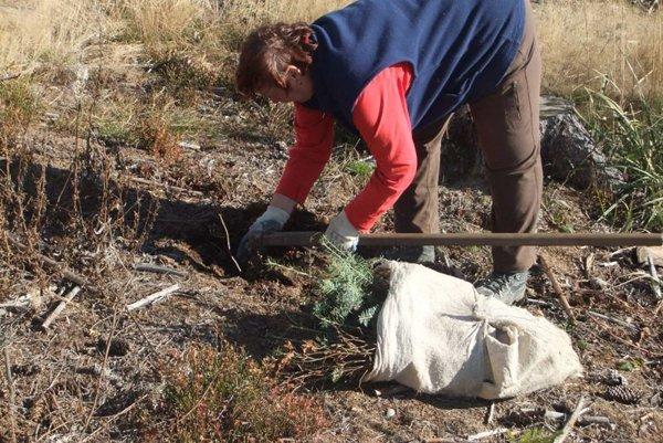 Lesníci očakávajú dobré ujatie sadeníc.