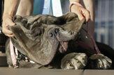 Najškaredším psom roku je neapolský mastiff Martha