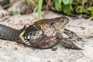 Trochu bizarný pohľad na to, ako sa užovka kŕmi žabou. Tá zostáva až príliš pokojná.