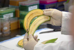 Porovnanie dužiny banánu bohatého na provitamín A a banánu Cavendish.