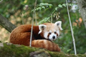 Panda Hu z bojnickej ZOO.