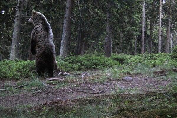 Mama medvedica kontroluje okolie.