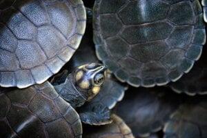 Celkový víťaz: Obrovská juhoamerická riečna korytnačka Podocnemis expansa.