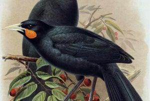 Novozélandský vták Huia vyhynul v roku 1907. Nadmerne ho lovili a odlesňovaním ničili jeho domov.
