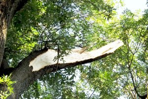 Konár odlomil zo stromu silný vietor.