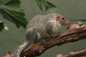 Mozog malajského cicavca tana spotrebúva rovnaké percento jeho telesnej energie ako ľudský mozog.