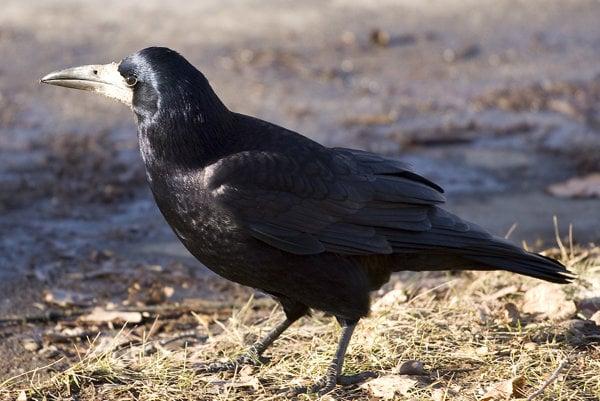 Havran čierny (corvus frugilegus)