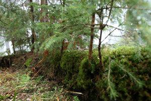Takto sa les dokáže obnoviť aj sám. Zo starého stromu získajú živiny mladé.