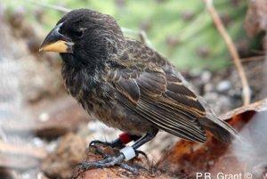 Rodičia dali zrod novému druhu a zároveň novej línii, ktorú nazvali Veľkí vták. Na obrázku je zástupca tohto druhu.
