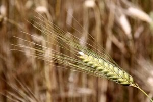 Na zoznam sa dostalo 26 druhov divej pšenice.