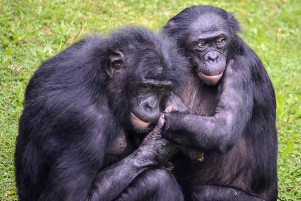 Šimpanzy bonobo.