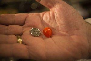 Najmenšia cherry paradajka na porovnanie s novou izraelskou mincou šekel.