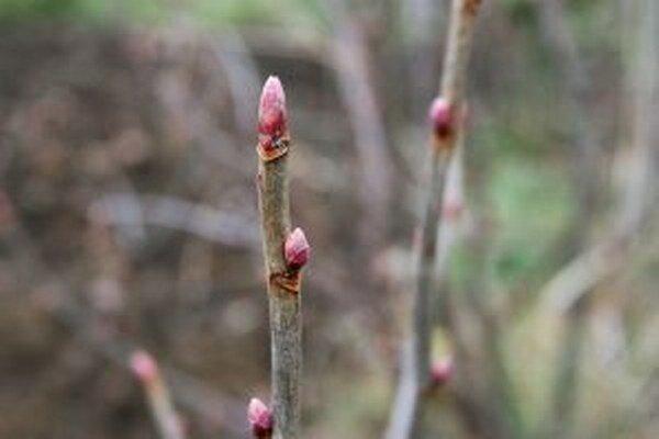 Pučiace konáre viac pripomínajú apríl ako február