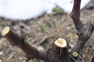 Na snímke strih viniča v Malej Tŕni.