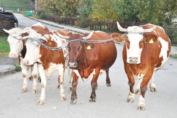 Hovädzí dobytok je súčasťou slovenského poľnohospodárstva.
