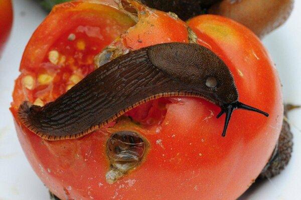 Slizniaky si pochutnávajú na plodoch aj rastlinách.