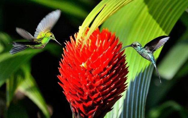 Kolibríky v kostarickom pralese.