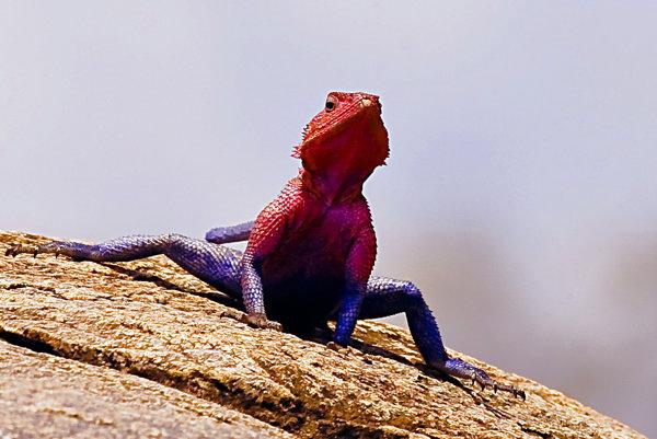 """Pavúči muž existuje zatiaľ iba v zvieracej ríši. Na obrázku je jašter rodu agama, ktorého pre jeho sfarbenie prezývajú aj """"jašter Spiderman""""."""