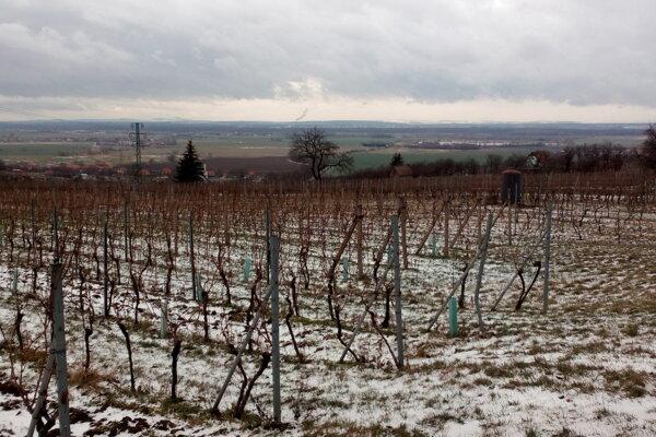 Jeden z vinohradov prvého slovenského vinára Alojza Masaryka v Skalici.