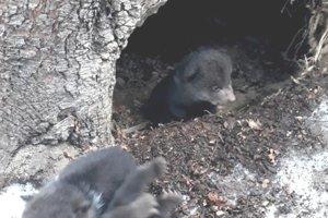 Medvieďatá, ktoré našli v lese.