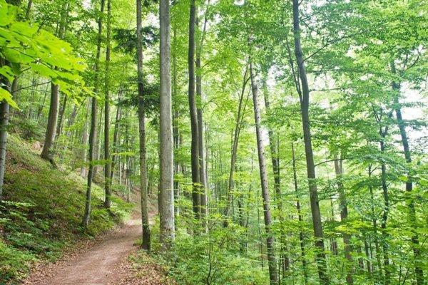 Charakter lesa v okolí Počúvadla zmenili invázne dreviny a tiež zver. Lesníci chcú stav napraviť.