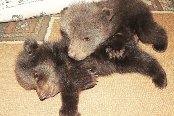 Môže sa to skončiť aj tak, že medvedia matka medvieďatá odvrhne